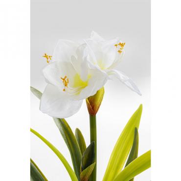 Planta Deco Amaryllis...